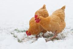 Fria områdehönor i snö royaltyfri fotografi