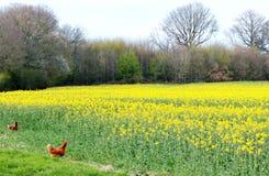 Fria områdehönor på lantgård Arkivbild