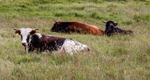 3 fria områdenötkreatur som sitter i ett högväxt gräs- fält royaltyfri fotografi