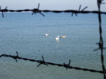 fria swans Arkivfoto