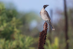 Friarbird bruyant (corniculatus de Philemon) Photographie stock