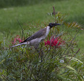 Friarbird die op bloeiende bottlebrush struik feesten Stock Foto's