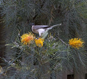 Friarbird feasting on flowering grevillias. Friarbird feasting on the flowering grevillias, Nambour, Queensland, Australia Stock Photo
