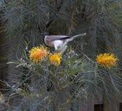 Friarbird que festeja en grevillias florecientes foto de archivo