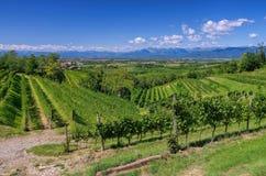 Friaul vineyards Stock Photo