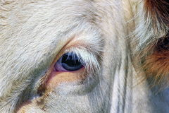 Fribourg cow eye, Switzerland Stock Image