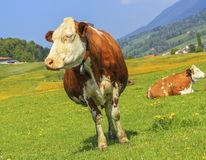 Fribourg cow resting, Switzerland Royalty Free Stock Photo