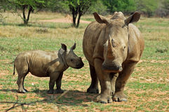 África cinco grandes: Rinoceronte branco Foto de Stock Royalty Free