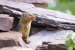 African rodent. Single african rodent between rocks Stock Photography