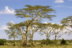Frican trees. Number of African trees in national park on a sunny day Royalty Free Stock Photo