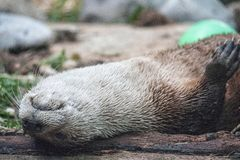 Is it Friday yet???? I otter be in bed. Otter lays on its back stock photography