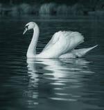 fridfull swan för lake Arkivfoton