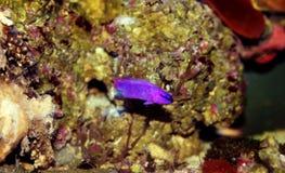Fridmani för orkidé Dottyback - Pseudochromis arkivbilder