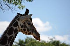 fridsam giraff Royaltyfri Bild