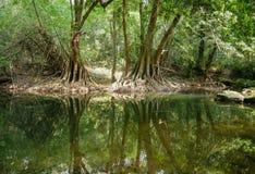 Fridsam grön natur med tyst damm- och banyanträdreflexion i vatten Arkivbilder