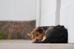 Fridsam hundsömn Arkivbilder
