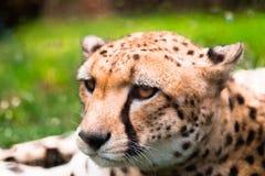 Fridsam leopard Arkivfoton