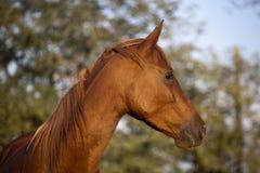 Fridsam Mare Horse Head Shot Side siktssommartid Arkivfoton