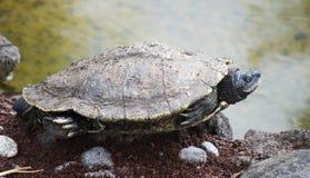 Fridsam sköldpadda Fotografering för Bildbyråer