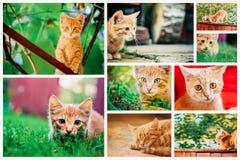Fridsamma röda Tabby Male Kitten Royaltyfri Fotografi