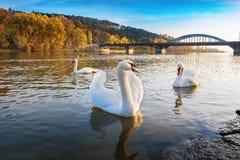 Fridsamma vita svanar som svävar på den near bron för flod i höst Arkivbild