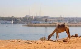 Fridsamt äta för kamel royaltyfri foto