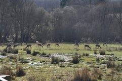 Fridsamt idylliskt fält med deers Fotografering för Bildbyråer