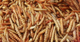 Fried bamboo larvae ,snack Royalty Free Stock Photo
