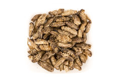 Fried crickets insects Royalty Free Stock Image