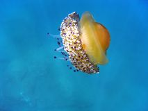 Fried Egg jellyfish Stock Image