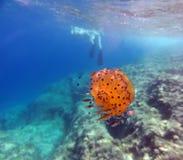Fried Egg Jellyfish. Mediterranean Jellyfish - Cotylorhiza tuberculata underwater Royalty Free Stock Image