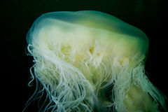 Free Fried Egg Jellyfish (Phacellophora Camtschatica) Royalty Free Stock Images - 24977379