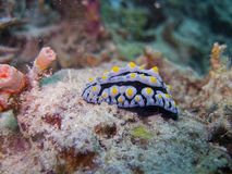 Fried-Egg Nudibranch Royalty Free Stock Photography