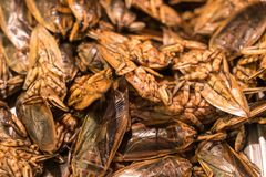 Fried giant water bug. A large amount of fried giant water bug with herb from a market stall in Thailand royalty free stock photo