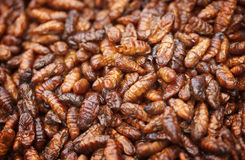Fried in oil silkworm larvae Stock Image
