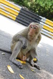 One monkey in thailand eats banana Stock Photos