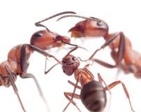 Frieden und Liebe in der Ameisenfamilie Lizenzfreie Stockfotografie