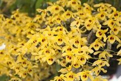 Friedericksianum del Dendrobium Immagini Stock