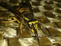 Friedly wasp Stock Photo