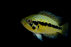 Friedrichsthalii di Parachromis Fotografie Stock