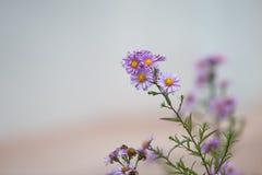 Friegue con el primer de las flores de la lila Fotografía de archivo