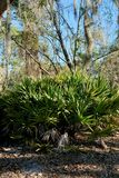 Friegue el Palmetto y los árboles con el musgo español Fotos de archivo libres de regalías