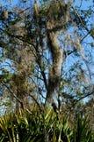 Friegue el Palmetto y los árboles con el musgo español Foto de archivo libre de regalías