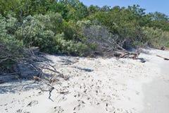 Friegue los pinos en la playa de la bahía de Chesapeake Fotos de archivo libres de regalías