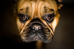 Friend. French Bulldog Portrait. Shallow DOF, Focus on Eyes Royalty Free Stock Image