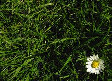 Friendly. Daisy on a meadow Royalty Free Stock Images