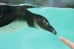 Humboldt African Penguin Royalty Free Stock Images
