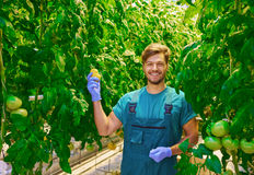 Friendly agronomist checking tomatoes in greenhouse Royalty Free Stock Photos