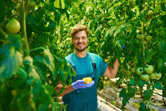 Friendly agronomist checking tomatoes in greenhouse Stock Photo