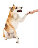 Friendly Australian Cattle and Shiba Inu Mix Dog Preforming Paw. A friendly Shiba Inu mix dog gives paw to human hand for a shake Royalty Free Stock Photo